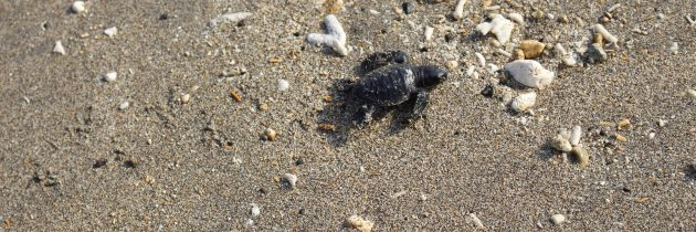 Baby Turtle Release at The ANVAYA Beach Resort Bali